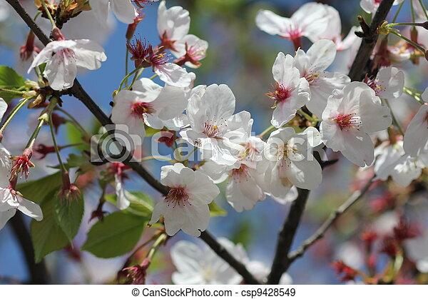 花, さくらんぼ - csp9428549