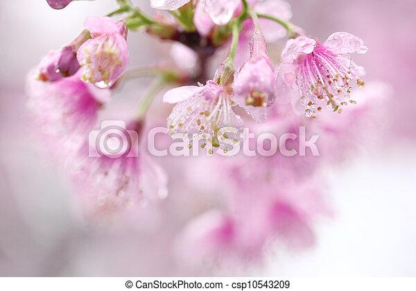 花, さくらんぼ - csp10543209