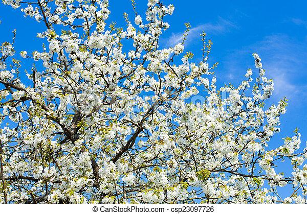 花, さくらんぼ - csp23097726