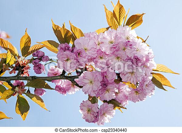 花, さくらんぼ - csp23340440