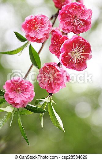 花, さくらんぼ - csp28584629
