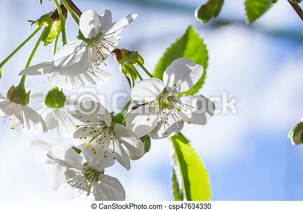 花, さくらんぼ - csp47634330