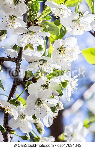 花, さくらんぼ - csp47634343