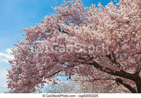 花, さくらんぼ - csp63050225