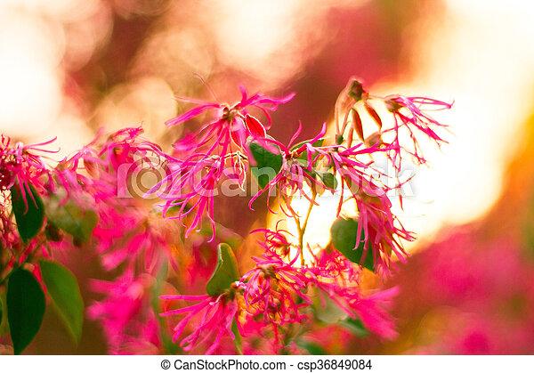 花, さくらんぼ - csp36849084