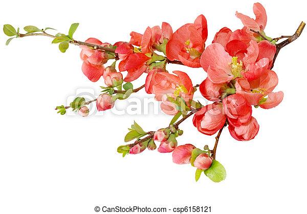 花, さくらんぼ - csp6158121