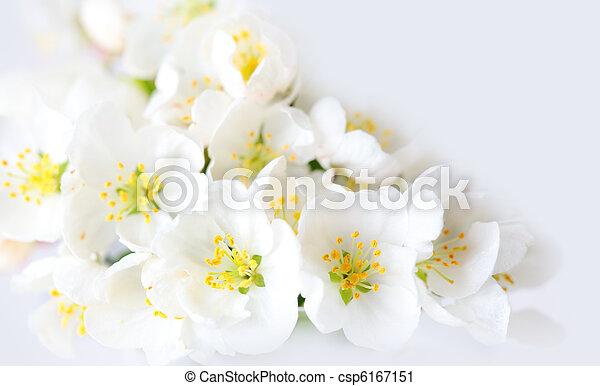 花, さくらんぼ, 白 - csp6167151