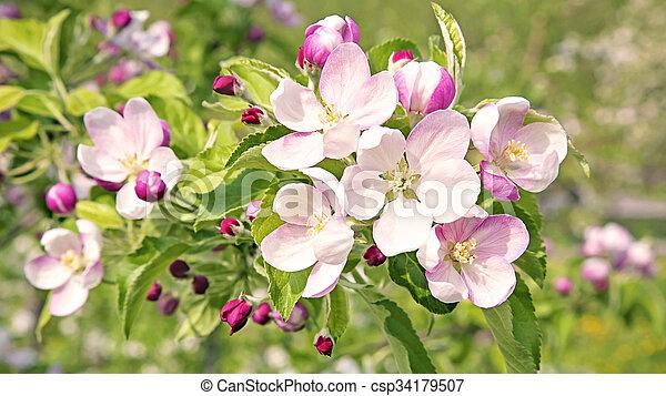 花, さくらんぼ, 花, 木, 春 - csp34179507