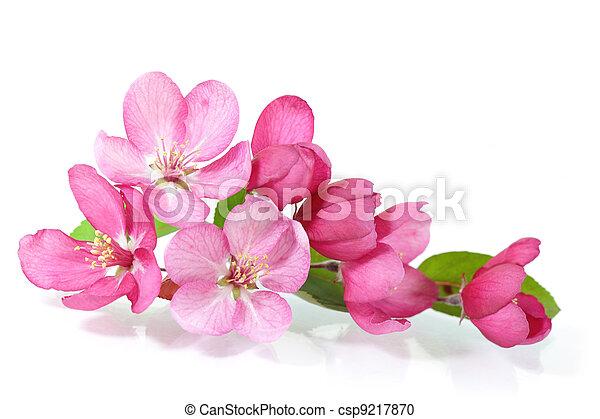 花, さくらんぼ, 赤 - csp9217870