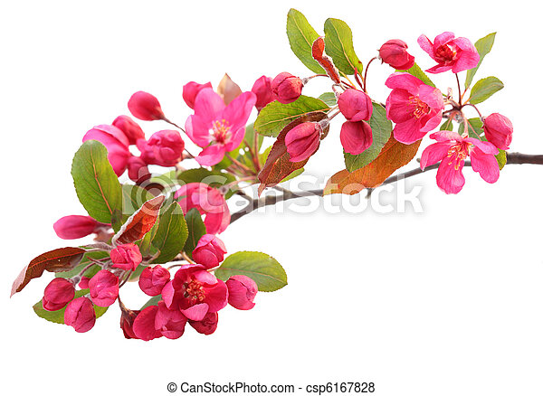 花, さくらんぼ, 赤 - csp6167828