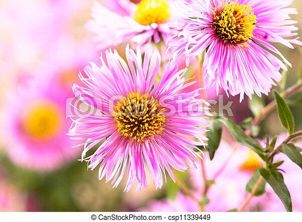 花, アスター - csp11339449