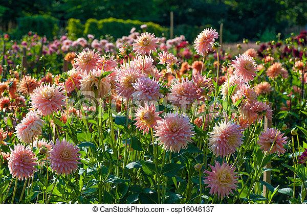 花, アスター - csp16046137