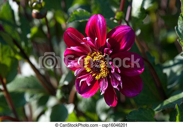 花, アスター - csp16046201