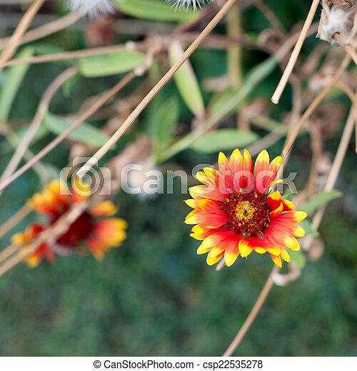 花, アスター - csp22535278