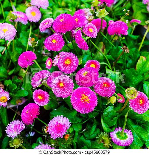 花, アスター - csp45600579