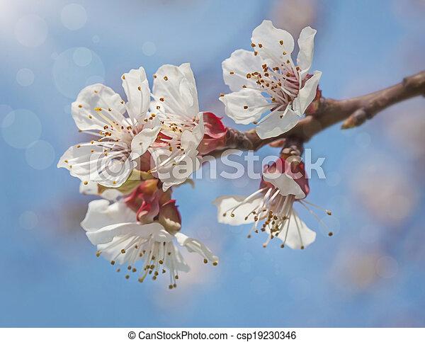 花, アプリコット, 花 - csp19230346