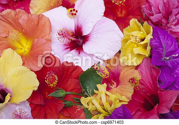 花, ハイビスカス - csp6971403