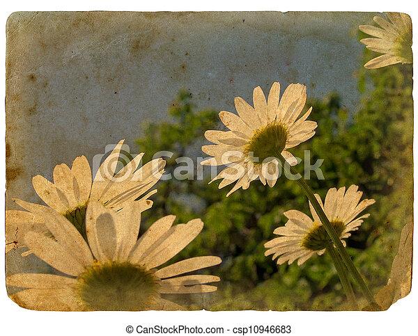 花, 古い, postcard., 咲く, chamomile. - csp10946683