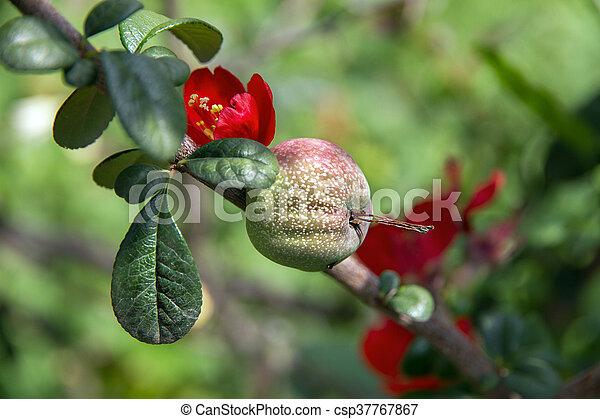 花, 果樹, 赤 - csp37767867