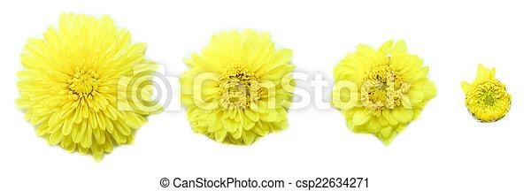 花, 背景, 白 - csp22634271