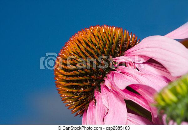 花, 锥形物, (echinacea) - csp2385103