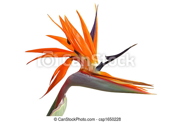 花, 鳥, パラダイス - csp1650228