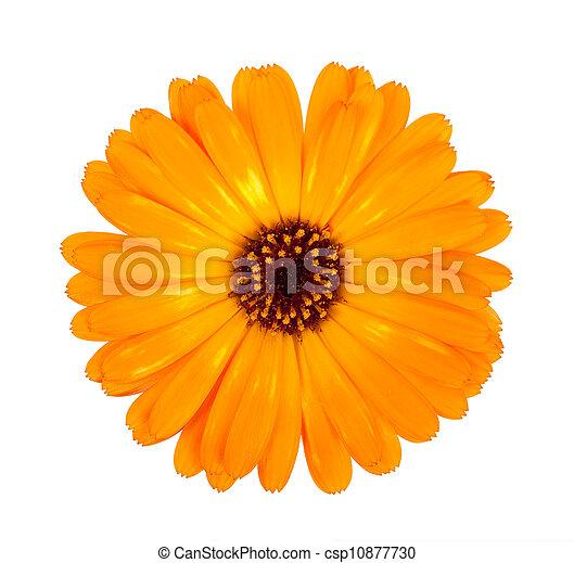 花, calendula - csp10877730