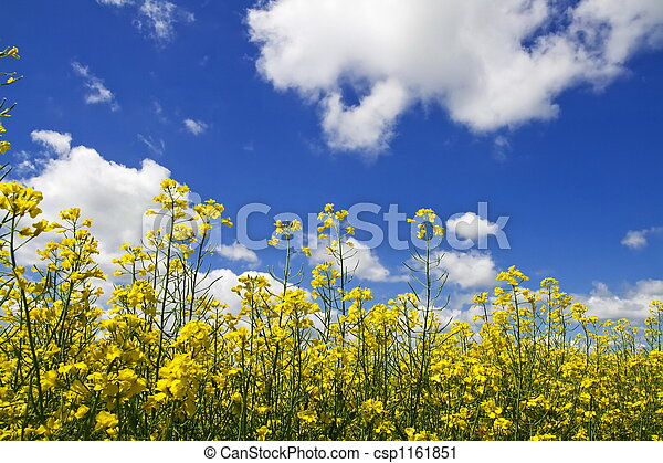 花, colza - csp1161851