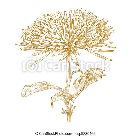 菊, ベクトル, flower. - csp8230465