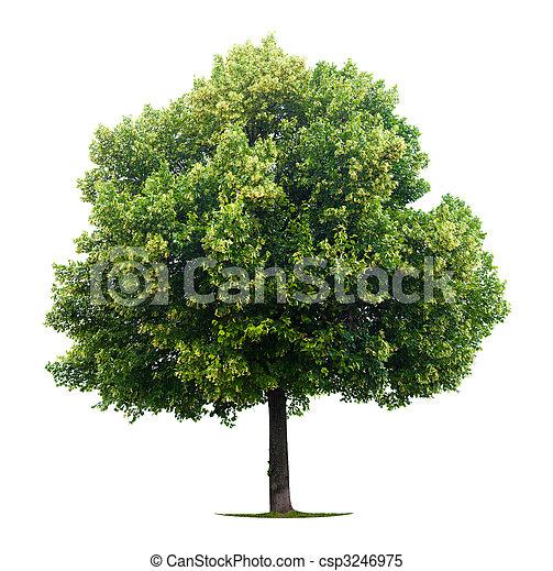 菩提樹, 樹 - csp3246975