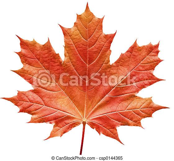 葉子, 紅的楓樹 - csp0144365