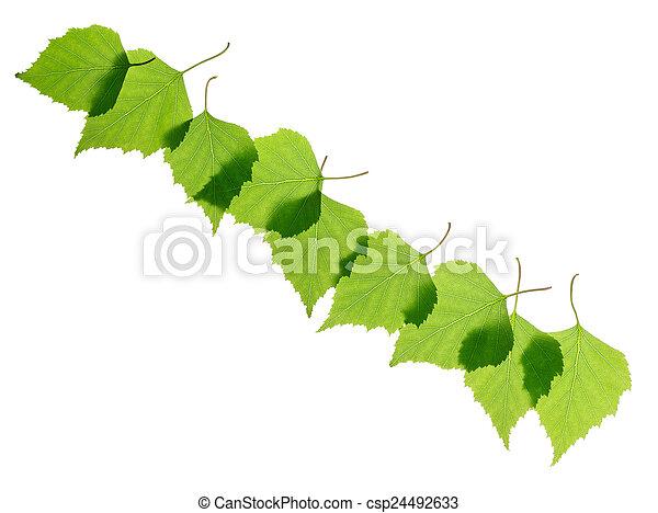 葉, シラカバ - csp24492633