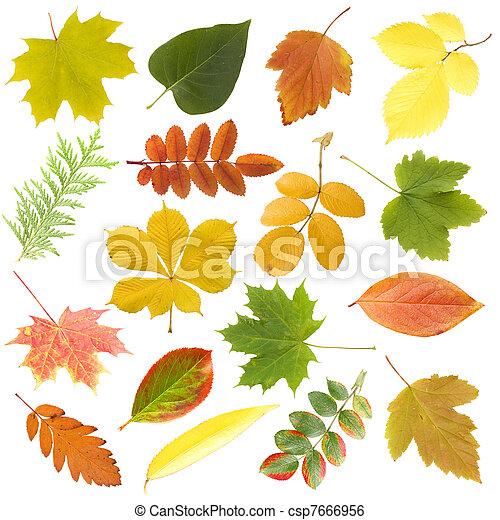 葉, 上に, 隔離された, 秋, 背景, 白 - csp7666956