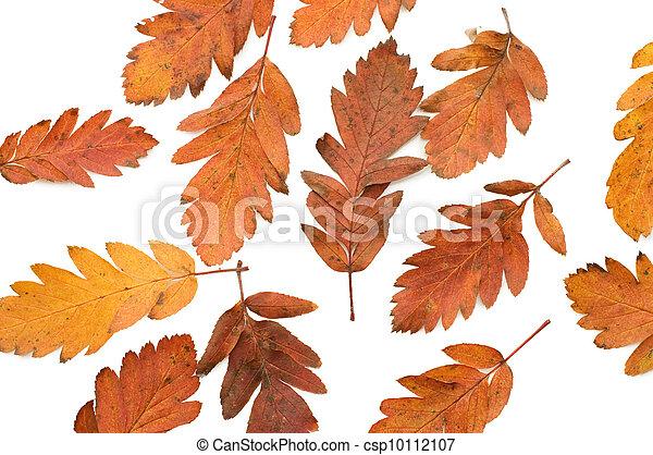 葉, 上に, 隔離された, 秋, 背景, 白 - csp10112107