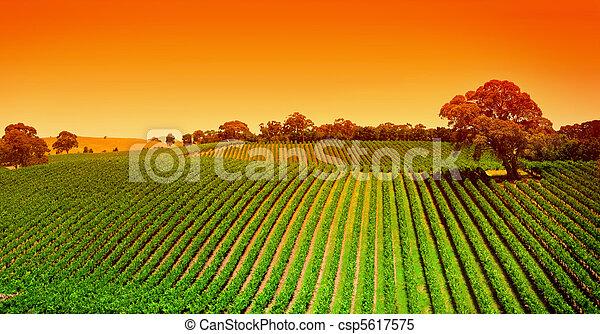 葡萄园, 小山, 日出 - csp5617575