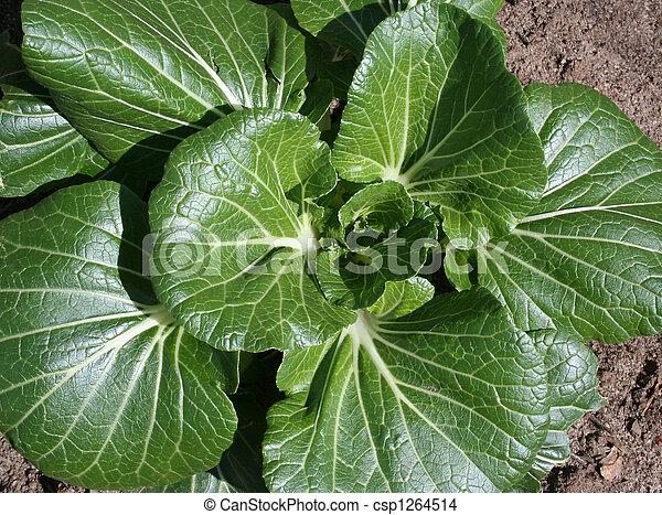 蔬菜, choy, bok, 花園 - csp1264514