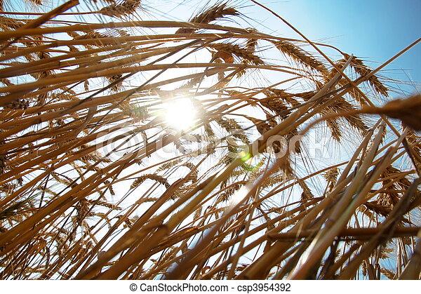 藍色, 小麥, 天空, 成熟, 針對 - csp3954392