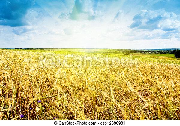 藍色, 小麥, 成熟, 天空, 針對, 風景 - csp12686981