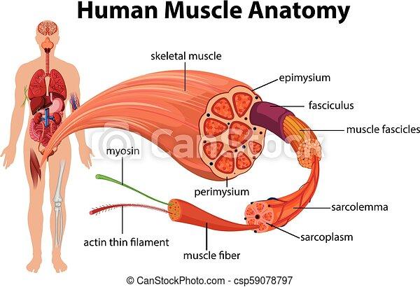 解剖学 図 筋肉 人間 イラスト