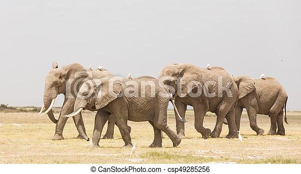 象, amboseli, 群れ, 公園, 野生, kenya., 国民 - csp49285256