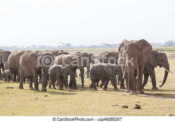 象, amboseli, 群れ, 公園, 野生, kenya., 国民 - csp49285257