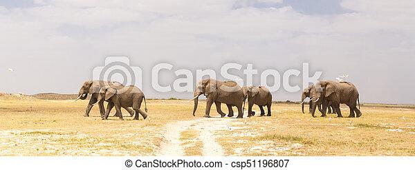 象, amboseli, 群れ, 公園, 野生, kenya., 国民 - csp51196807