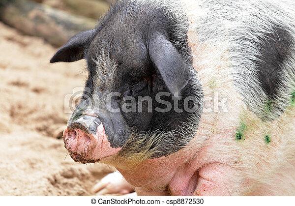 豬 - csp8872530