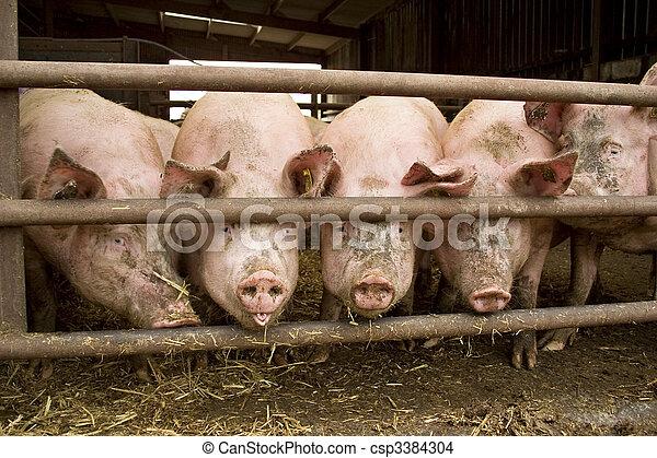 豬 - csp3384304