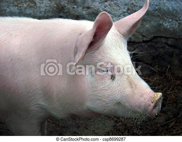 豬 - csp8699287