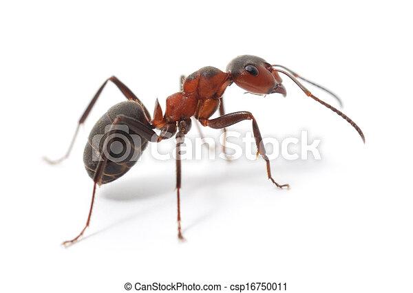 赤いアリ, 隔離された - csp16750011