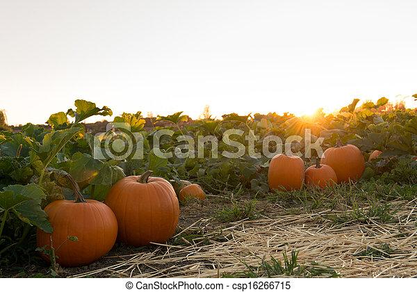 農場, の間, 日没, カボチャ - csp16266715