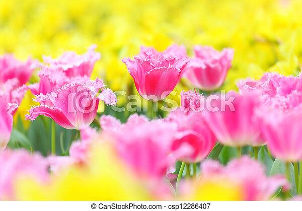 郁金香, 花, 領域 - csp12286407