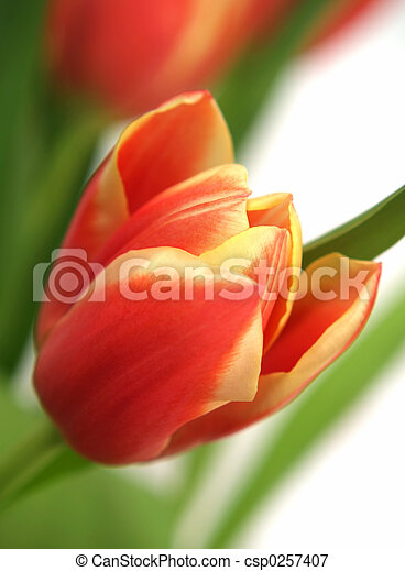 郁金香, tulipa, -, gesneriana - csp0257407
