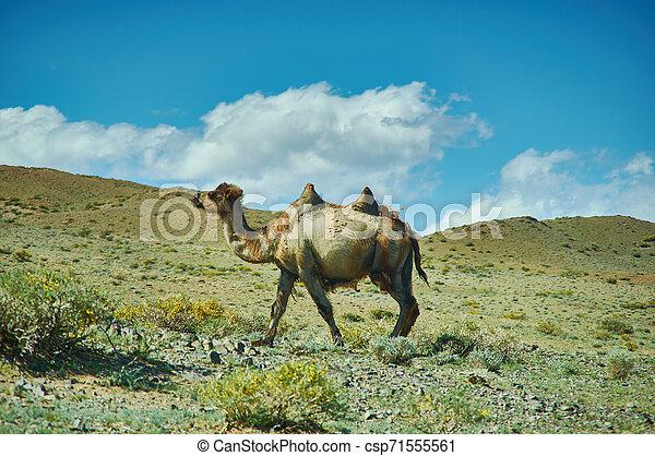 野生, ラクダ, mongolian, 風景, 典型的 - csp71555561